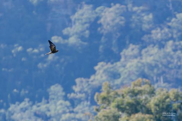 Black Falcon, Munghorn Gap NR, Jul 2012