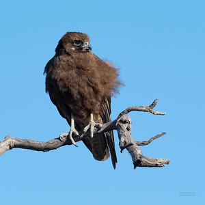 Brown Falcon, Deniliquin, NSW, Oct 2018-2