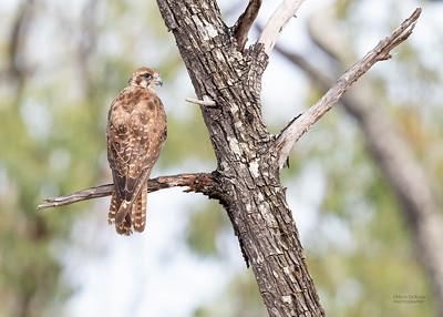 Brown Falcon, Hidden Valley, QLD, Jan 2020-2