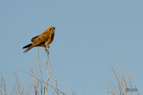 Brown Falcon, New Haven Station, NT, Jun 2012