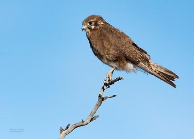 Brown Falcon, Deniliquin, NSW, Oct 2018-1