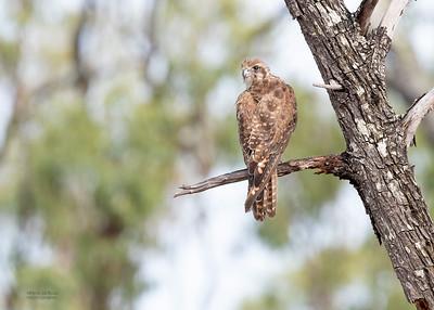 Brown Falcon, Hidden Valley, QLD, Jan 2020-3