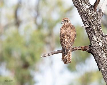 Brown Falcon, Hidden Valley, QLD, Jan 2020-1