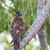 Brown Falcon, Kakadu NP, NT, Oct 2010 copy
