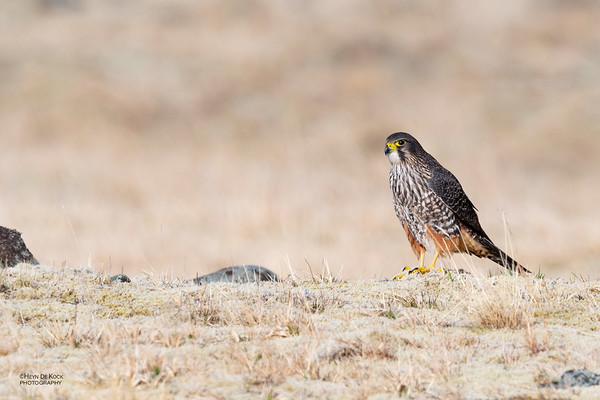 New Zealand Falcon, Mount Cook NP, SI, NZ, Aug 2018-2