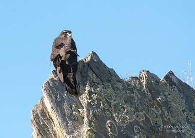 New Zealand Falcon, Densey's Pass, SI, NZ, Jan 2013