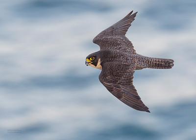 Peregrine Falcon, Dee Why, Sydney, NSW, Oct 2018-5