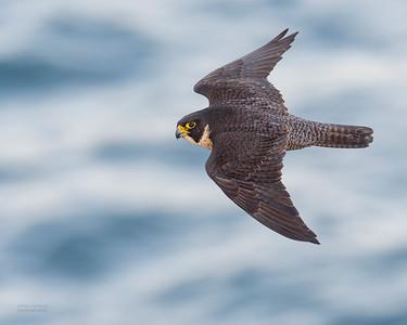 Peregrine Falcon, Dee Why, Sydney, NSW, Oct 2018-6