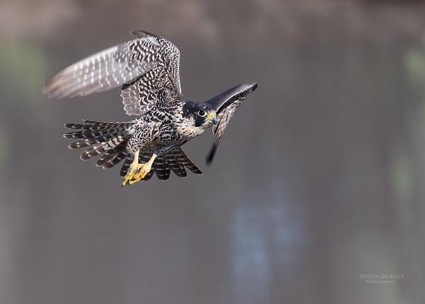 Peregrine Falcon, Savuti, Chobe NP, Botwana, May 2017-1