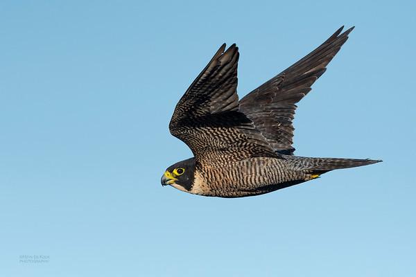 Peregrine Falcon, Dee Why, Sydney, NSW, Oct 2018-2