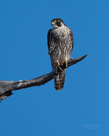Peregrine Falcon, Savuti, Chobe NP, Botswana, May 2017-1