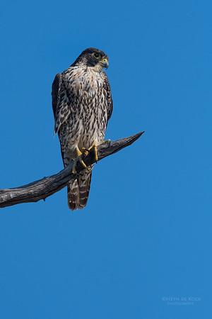 Peregrine Falcon, Savuti, Chobe NP, Botswana, May 2017-2