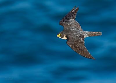 Peregrine Falcon, Dee Why, Sydney, NSW, Oct 2018-3