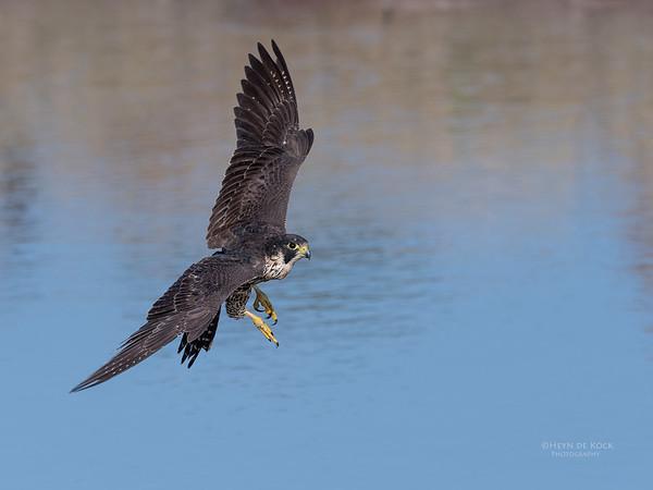 Peregrine Falcon, Savuti, Chobe NP, Botswana, May 2017-3