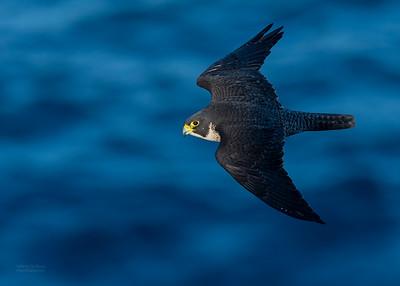 Peregrine Falcon, Dee Why, Sydney, NSW, Oct 2018-4