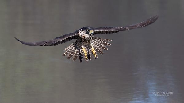 Peregrine Falcon, Savuti, Chobe NP, Botswana, May 2017-4