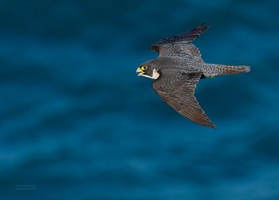 Peregrine Falcon, Dee Why, Sydney, NSW, Oct 2018-1