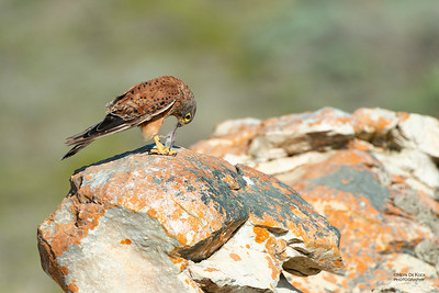 Rock Kestrel, D'Agulas NP, WC, SA, Jan 2014-2