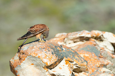 Rock Kestrel, D'Agulas NP, WC, SA, Jan 2014-1