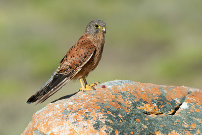 Rock Kestrel, D'Agulas NP, WC, SA, Jan 2014-4