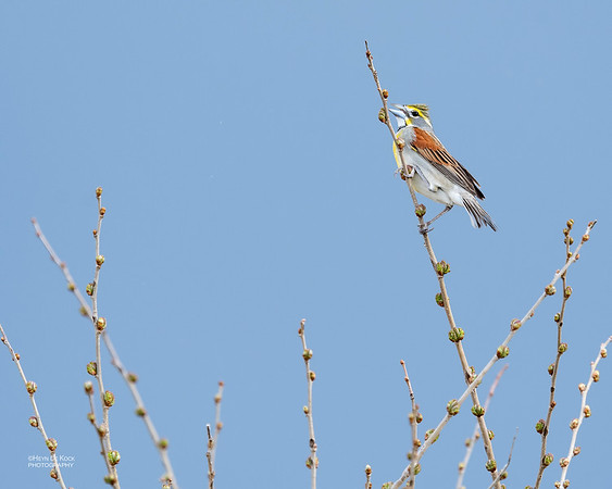 Dickcissel, Glacier Creek Preserve, NE, USA, May 2018-1