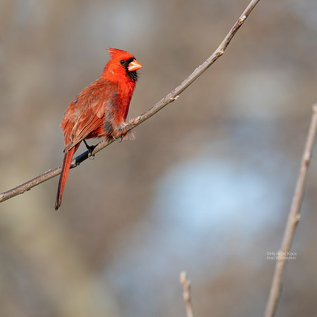 Northern Cardinal, Standing Bear Lake, NE, USA, May 2018-1