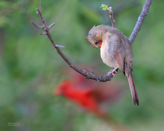 Northern Cardinal, Standing Bear Lake, NE, USA, May 2018-5
