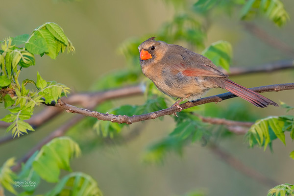 Northern Cardinal, Standing Bear Lake, f, NE, USA, May 2018-2