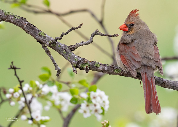Northern Cardinal, Standing Bear Lake, f, NE, USA, May 2018-1