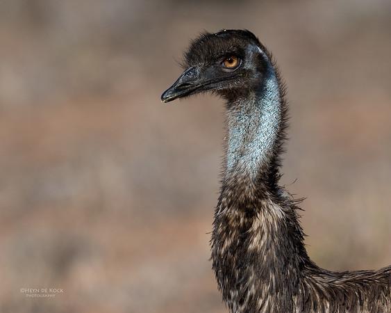Emu, Bowra, Cunnamulla, QLD, Aus, Sept 2017-1