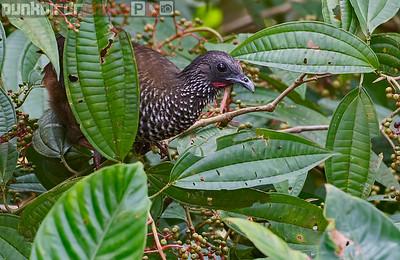 Speckled Chachalaca (Ortalis guttata)