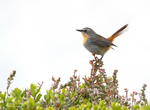 Cape Robin-chat, sub-adult, West Coast NP, WC, SA, Jan 2014