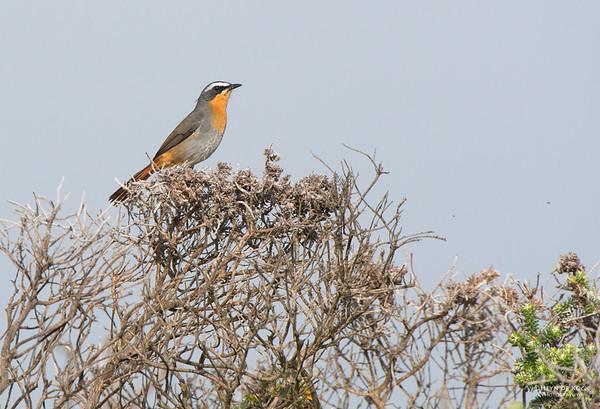 Cape Robin-chat, Table Mountain NP, WC, SA, Jan 2014