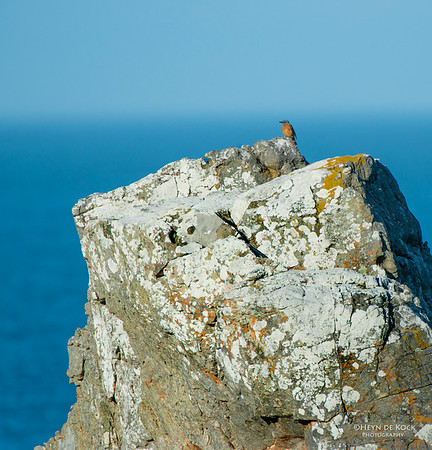 Cape Rock-thrush, Rooi-Els, WC, SA, Jan 2013-1