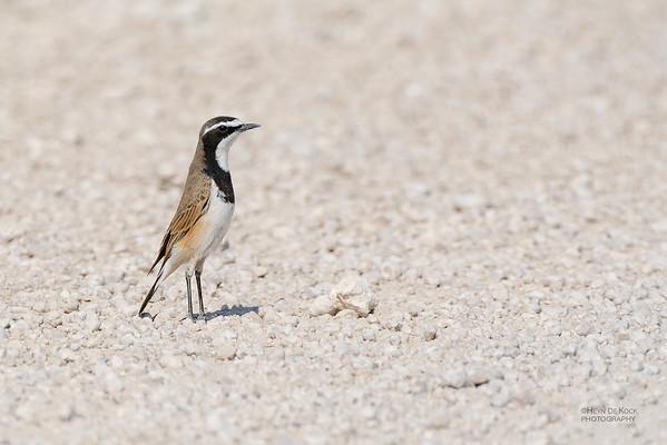 Capped Wheatear, Etosha NP, Namibia, July 2011-1