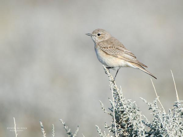 Chat Flycatcher, Etosha NP, Namibia, July 2011