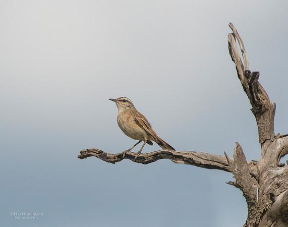 Kalahari Scrub Robin, Pilansberg National Park, SA, Dec 2013-1