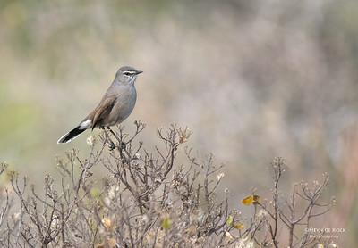 Karoo Scrub-Robin, West Coast NP, WC, SA, Jan 2014-2