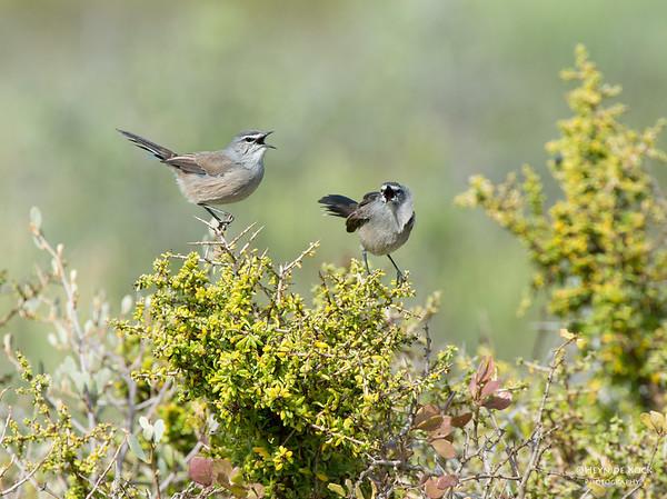 Karoo Scrub-Robin, West Coast NP, WC, SA, Jan 2014-3