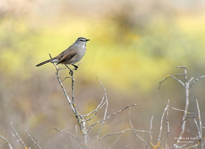 Karoo Scrub-Robin, West Coast NP, WC, SA, Jan 2014-1