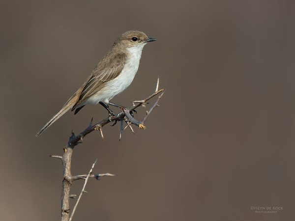Marico Flycatcher, Madikwe GR, NW, SA, Sep 2015
