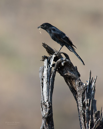Southern Black Flycatcher, Madikwe GR, NW, SA, Sep 2015