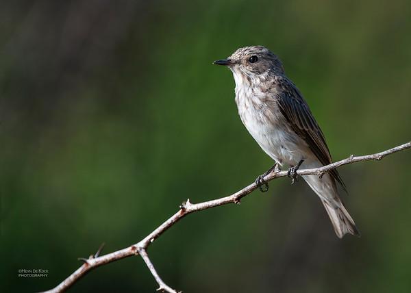Spotted Flycather, Hluhluwe-Imfolozi NP, KZN, SA, Jan 2014-1