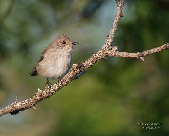 Spotted Flycatcher, Hluhluwe-Imfolozi NP, KZN, SA, Jan 2014