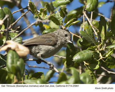 Oak Titmouse A25861