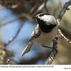 Mountain Chickadee A67456