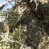 Bushtit Interior Nest 69233