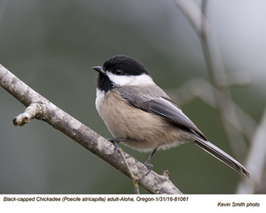 Black-capped Chickadee A81061