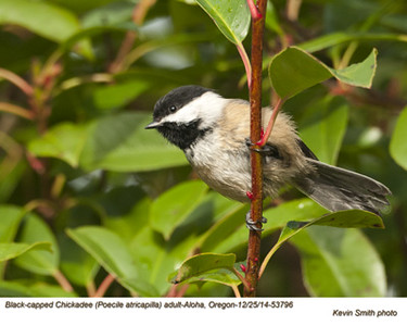 Black-capped Chickadee A53796