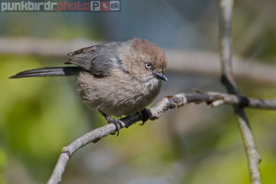 Bushtit female (Psaltriparus minimus)